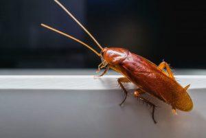 Disinfestazione scarafaggi asti
