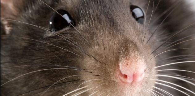 Muso di topo